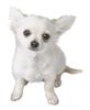 Pegatina de Chihuahua SSBB.png