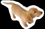 Pegatina de Dachshund miniatura SSBB.png