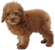 Artwork del Toy Poodle en Nintendogs + Cats.jpg