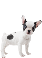 Artwork del Bulldog Frances en Nintendogs + Cats.png