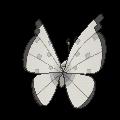 Vivillon polar espalda G6 variocolor.png
