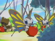 Los Beautifly introducen su trompa dentro de la fruta para sacar su jugo, no suelen estar conformes con su dieta y se le ve frecuentemente buscando alimento.